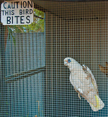 Pretty Cockatoo Photograph - Caution This Bird Bites by Paul Donohoe