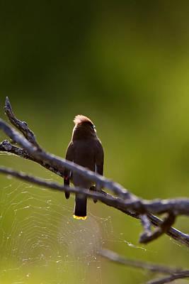 Spring Scenes Digital Art - Cedar Waxwing Perched In Tree by Mark Duffy