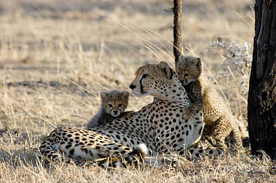 Cheetah Mother And Cubs Art Print by Gregory G. Dimijian, M.D.