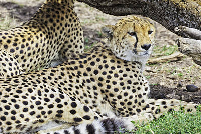 Photograph - Cheetahs Resting by Perla Copernik