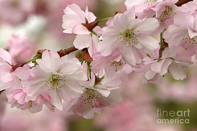 Photograph - Cherry Blossoms by Frank Townsley