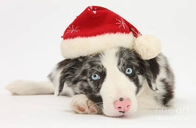 Christmas Collie Print by Mark Taylor