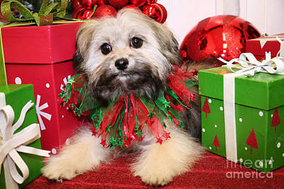 Shih-poo Photograph - Christmas Portraits - Shihpoo by Renae Laughner
