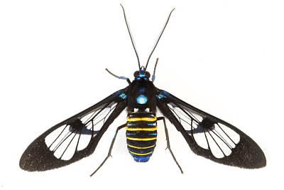 Clearwinged Tiger Moth Tapanti Np Costa Art Print by Piotr Naskrecki