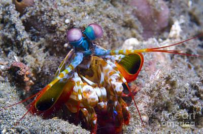 Close-up View Of A Mantis Shrimp, Papua Art Print by Steve Jones