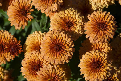 Close-up View Of Orange Mums In Bloom Art Print by Todd Gipstein