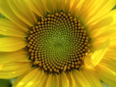 Closeup Of A Sunflower At The Sunflower Art Print