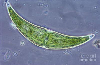 Closterium Sp. Algae Lm Print by M. I. Walker