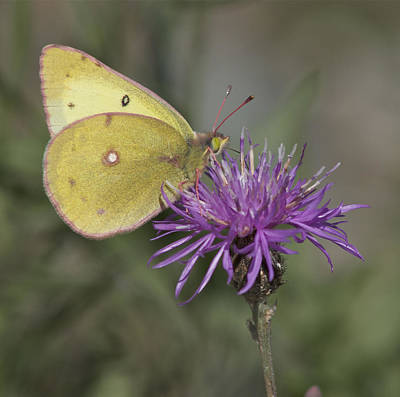 Photograph - Clouded Yellow Butterfly by Cathie Douglas