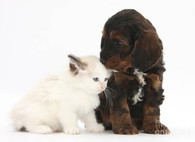 Ragdoll Kittens Photograph - Cockapoo Pup And Ragdoll-cross Kitten by Mark Taylor
