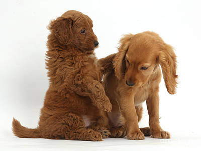 Golden Cockers Photograph - Cocker Spaniel Puppy And Goldendoodle by Mark Taylor