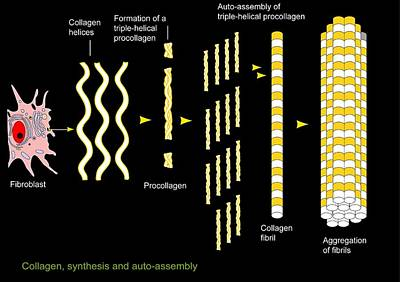 Triple Strand Photograph - Collagen Synthesis And Assembly, Artwork by Francis Leroy, Biocosmos