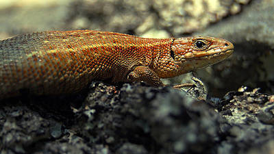 David Bowie - Common lizard by Gavin Macrae