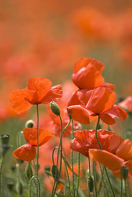 Rememberance Photograph - Common Poppies (papaver Rhoeas) by Adrian Bicker