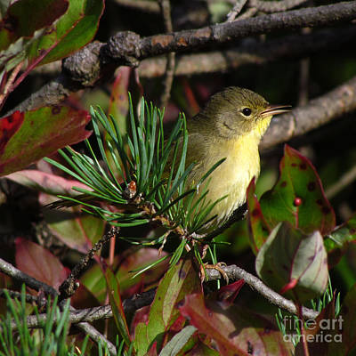 Photograph - Common Yellowthroat  by Deborah Johnson