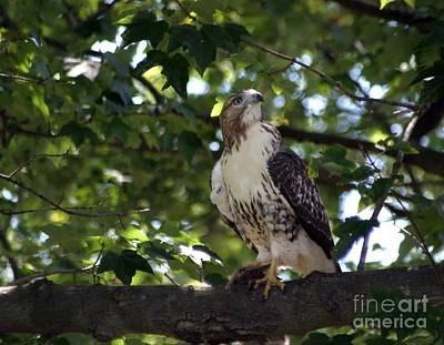Photograph - Cooper's Hawk by Living Color Photography Lorraine Lynch