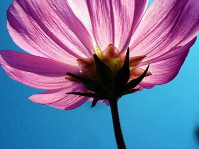 Blossoming Photograph - Cosmia Flower by Sumit Mehndiratta