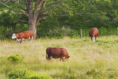 Cows Grazing In Field Rockport Maine Print by Keith Webber Jr