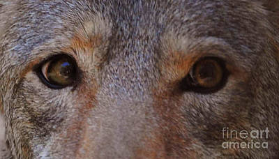 Coyote Eyes Art Print by DiDi Higginbotham