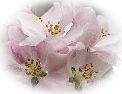 Crab Apple Blossoms Art Print