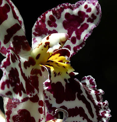Photograph - Cribet Exotic Orchids by C Ribet