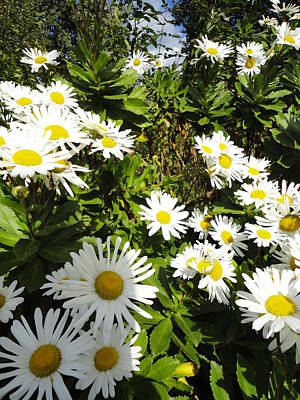 Crowd Of Daisies Art Print by Guy Ricketts