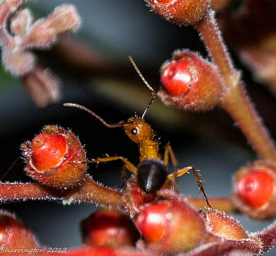 Photograph - Curious Ant by Shannon Harrington