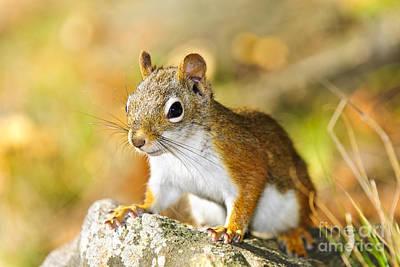 Animals Photos - Cute red squirrel closeup 1 by Elena Elisseeva