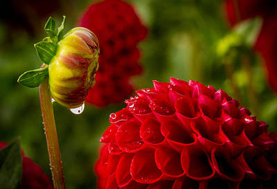 Photograph - Dahlia Bud With Dew by Jean Noren