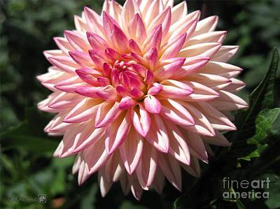 Photograph - Dahlia Named Valley Porcupine by J McCombie