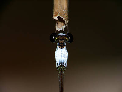 Photograph - Damsel Fly by Chua  ChinLeng