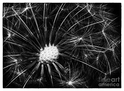 Photograph - Dandelion II by David Waldrop