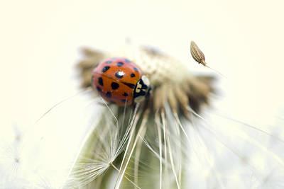 Dandelion Ladybugs Art Print by Falko Follert
