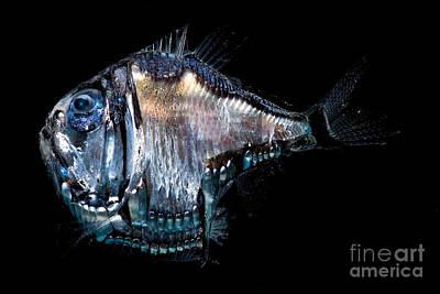 Pelagos Photograph - Deep-sea Hatchetfish by Dant� Fenolio