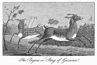 1796 Photograph - Deer, 1796 by Granger