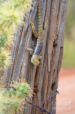 Photograph - Desert Spiney Lizard by Donna Greene