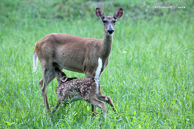 Doe And Fawn Art Print by Carolyn Postelwait