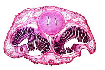 Dogfish Head, Transverse Section Art Print by Dr Keith Wheeler
