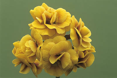 Auricula Photograph - Double Auricula 'golden Hind' Flowers by Archie Young