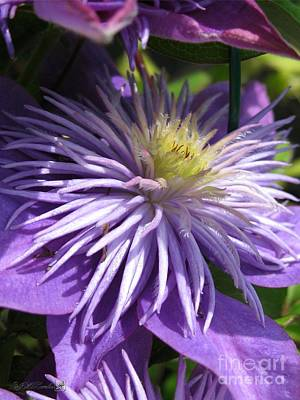 Mccombie Photograph - Double Clematis Named Crystal Fountain by J McCombie