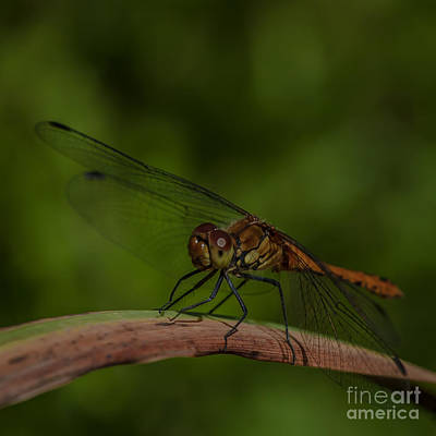 Photograph - Dragon Fly by Jorgen Norgaard