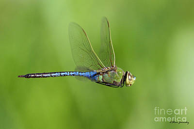 Photograph - Dragonfly by Steve Javorsky