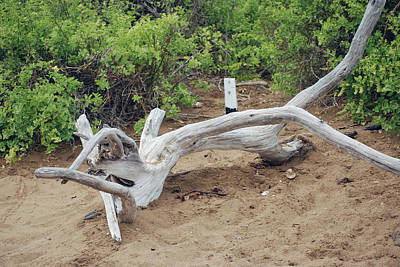 Photograph - Driftwood At Punta Cormoran by Harvey Barrison