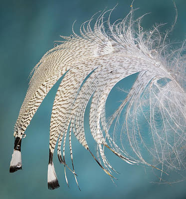 Photograph - Droopy Feather by Jean Noren