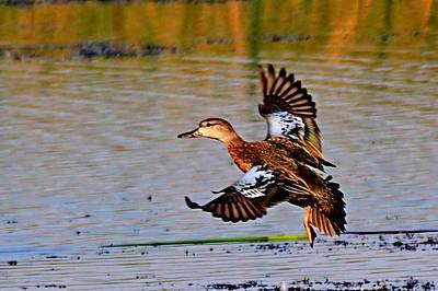 Photograph - Duck In Flight by Ira Runyan