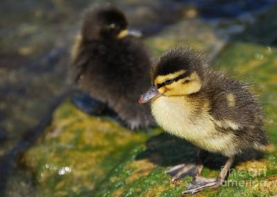 Photograph - Ducklings by Alan Clifford