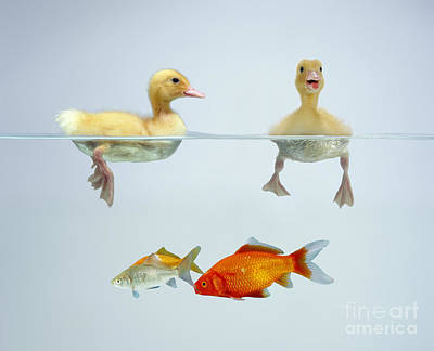 Photograph - Ducklings And Goldfish by Jane Burton