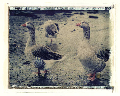 Photograph - Ducks by Joe  Palermo