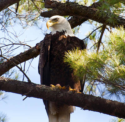 Photograph - Eagle by Glenn Gordon