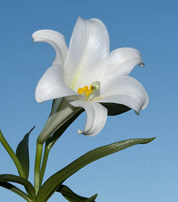 Photograph - Easter Lily by George Hawkins